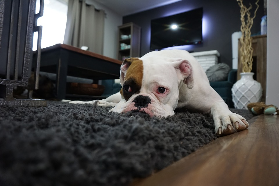 boxer 1562522 960 720 - Can the owner's community throw my dogs off the floor?