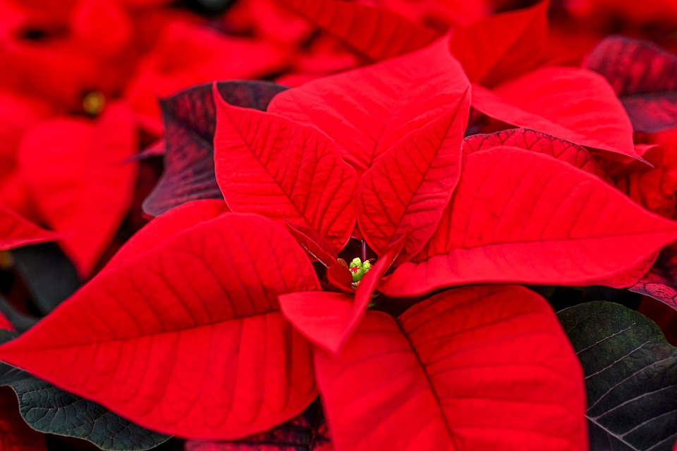 poinsettia 4647951 960 720 - Make your poinsettia beat the holidays